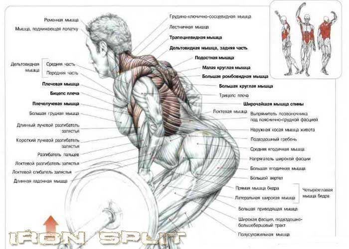ТЯга штанги в наклоне какие мышцы работают